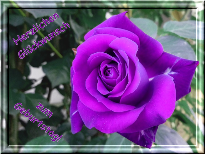 1608 lila Rose 2