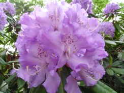 2705 BrG Rhododendron 24