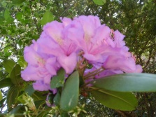 2105 Rhododendron 03