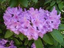 2105 Rhododendron 04