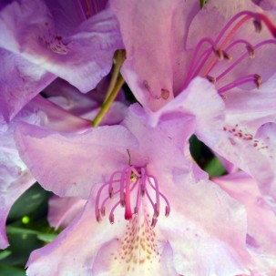 2105 Rhododendron 06
