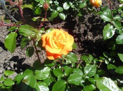 0207 Westfalenpark Rose 90