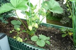 0305 Erdbeeren Balkon 2