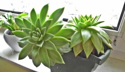 0305 WZ Dickblattpflanze 1