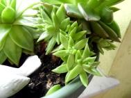 0305 WZ Dickblattpflanze 5