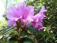 2105 Britzer Garten Rhododendron