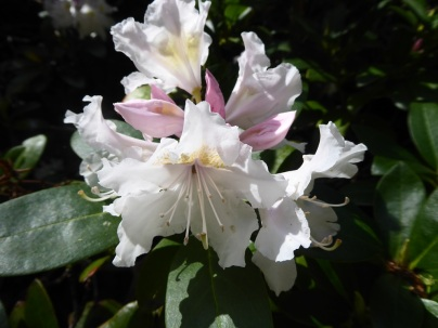 2105 Rhododendron L