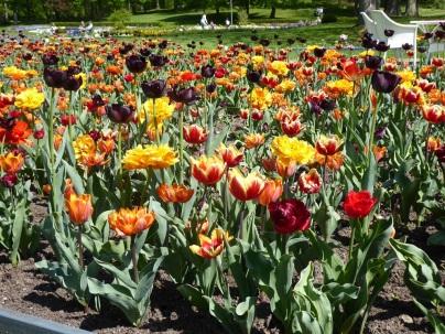 2105 Tulpen 1