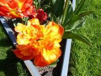 2105 Tulpen 3 L