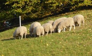 0211 Schafe 361