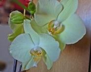 0301 Orchidee 451