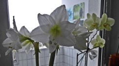 1501 amaryllis w orchideen 850