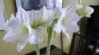 1501 amaryllis w orchideen 857