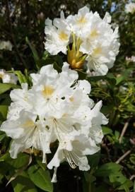 2804 BG Rhododendron 4