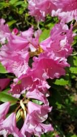 2804 BG Rhododendron 5