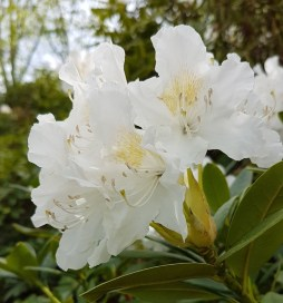 2804 BG Rhododendron 6