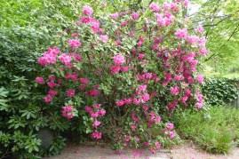 0805 BG Rhododendron 47