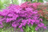 0805 BG Rhododendron 50