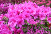 0805 BG Rhododendron 51