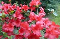 0805 BG Rhododendron 52