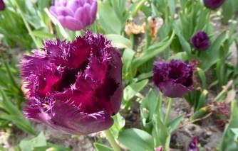 0805 BG Tulpen 33