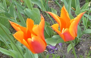 0805 BG Tulpen 39