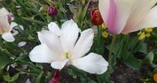 0805 BG Tulpen 41