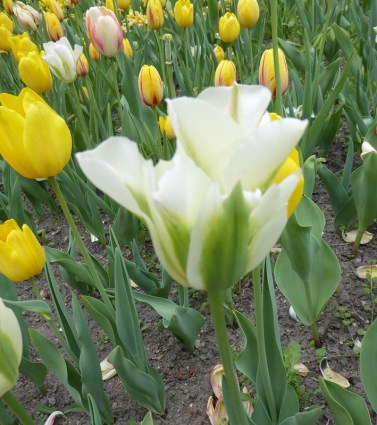 0805 BG Tulpen 43