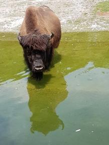 0408 2007 Zoo Büffel 2