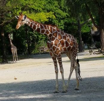 0408 2007 Zoo Giraffen 1
