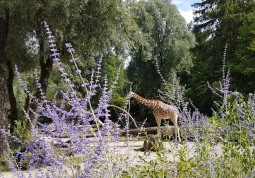 0408 2007 Zoo Giraffen 4
