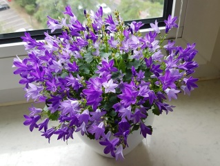 2208 Lila Blume 1