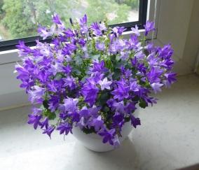 2208 Lila Blume 2