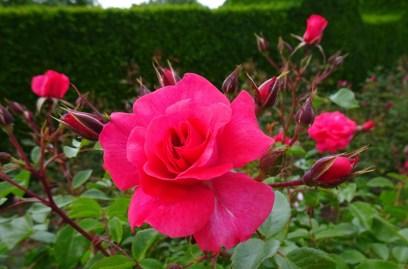 0707 Rosenschönheit 08