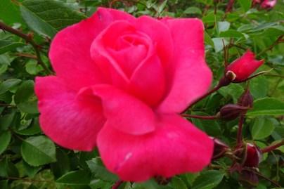 0707 Rosenschönheit 09