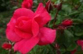 0707 Rosenschönheit 10
