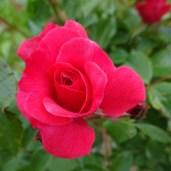 0707 Rosenschönheit 12