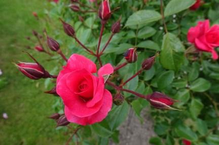 0707 Rosenschönheit 13