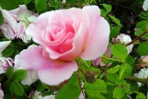 0707 Rosenschönheit 36