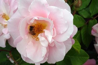 0707 Rosenschönheit 37