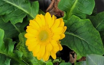 2207 Balk Blume 2
